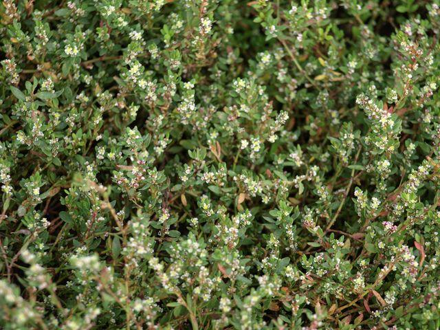 Pianta con piccolissimi fiori bianchi - Polygonum sp. , Forum Natura Mediterr...