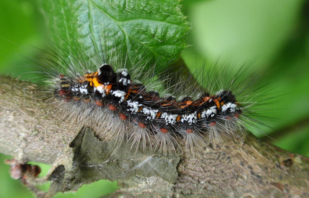 Bruco peloso, nero, arancione e bianco. Euproctis similis