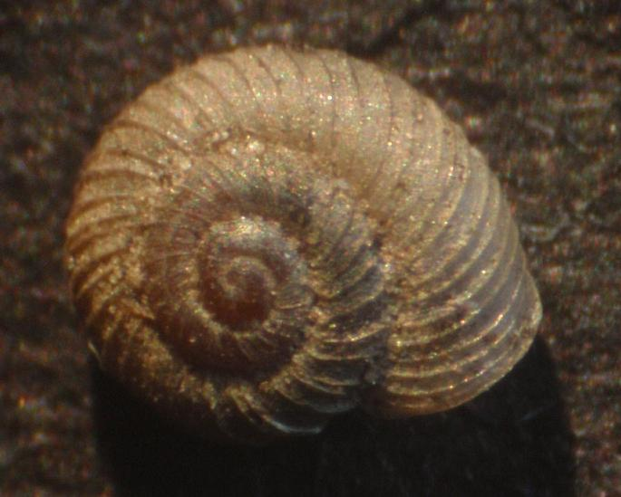 Vallonia costata (O.F. Müller, 1774)  -  Piemonte,  Asti
