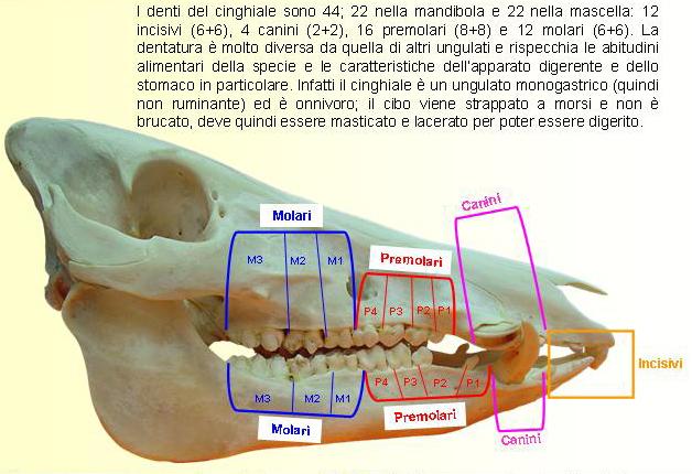 Il cranio degli animali