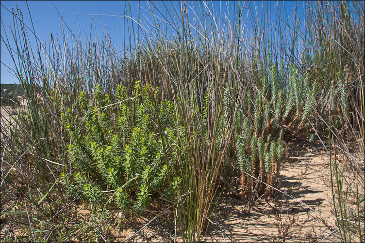 Euphorbia pithyusa subsp. cupanii / Euforbia delle Baleari
