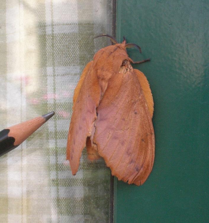 come si chiama? - Gastropacha quercifolia