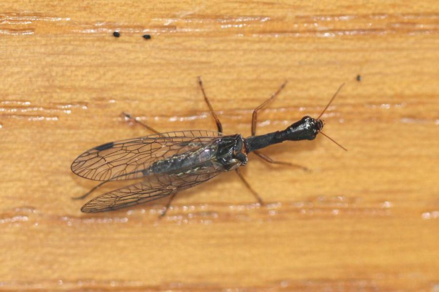 Venustoraphidia nigricollis