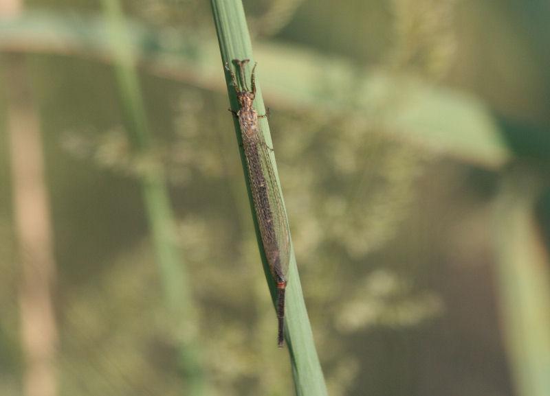 Creoleon plumbeus maschio
