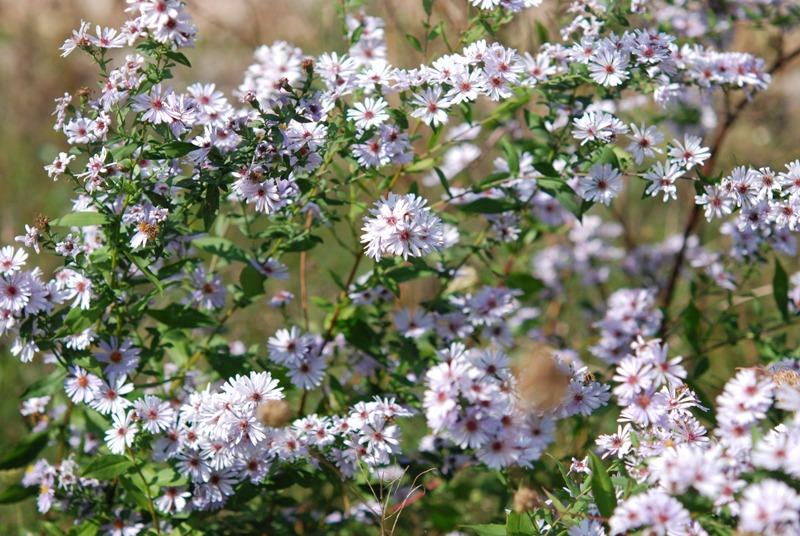Cfr symphyotrichum novi belgii aster novi belgii - Aster pianta ...