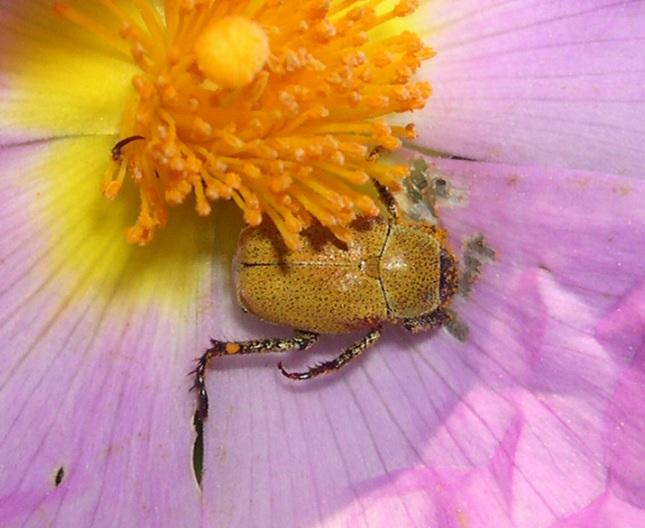 Rutelidae: Hoplia maremmana (cfr.)