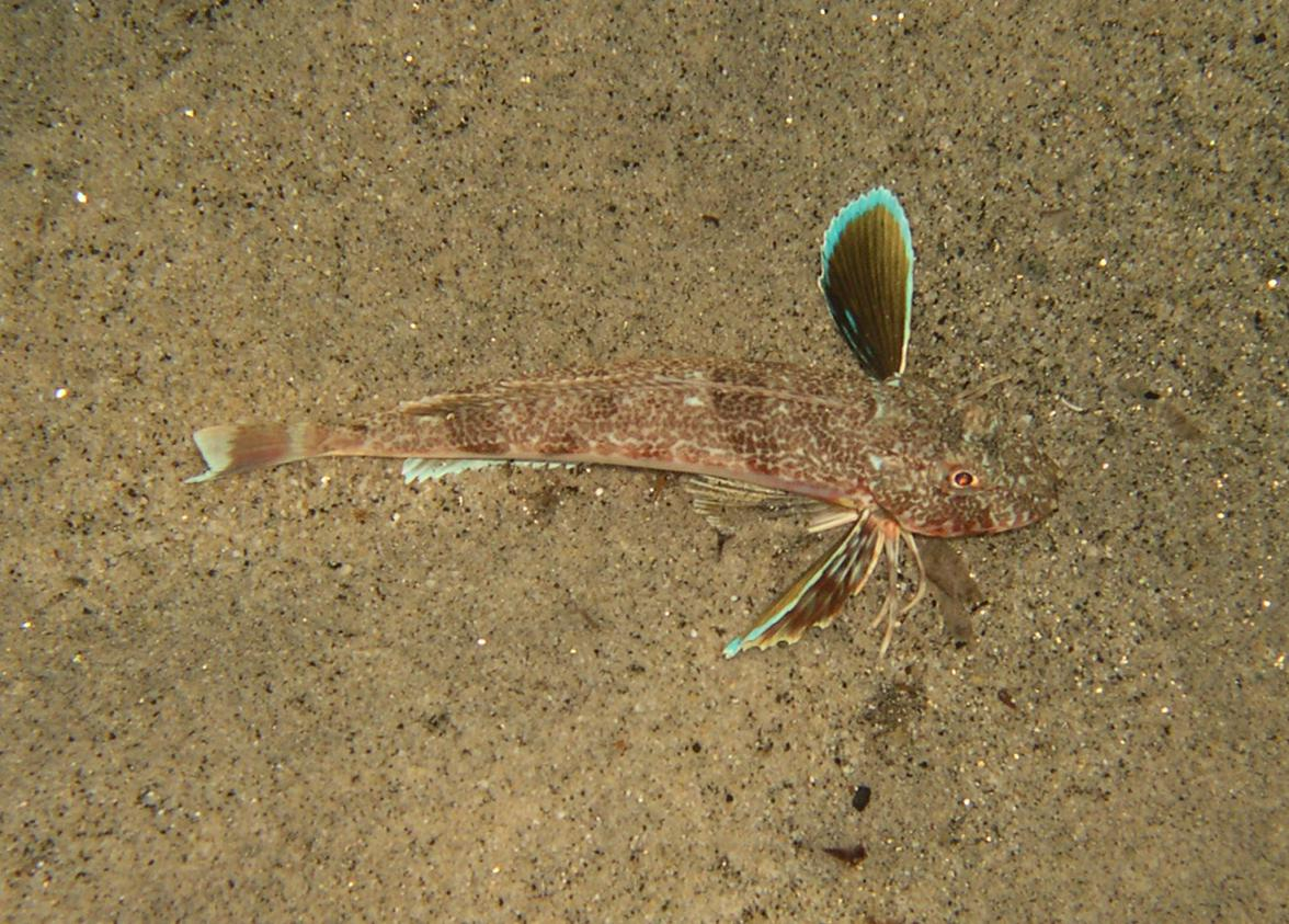 Chelidonichthys obscurus