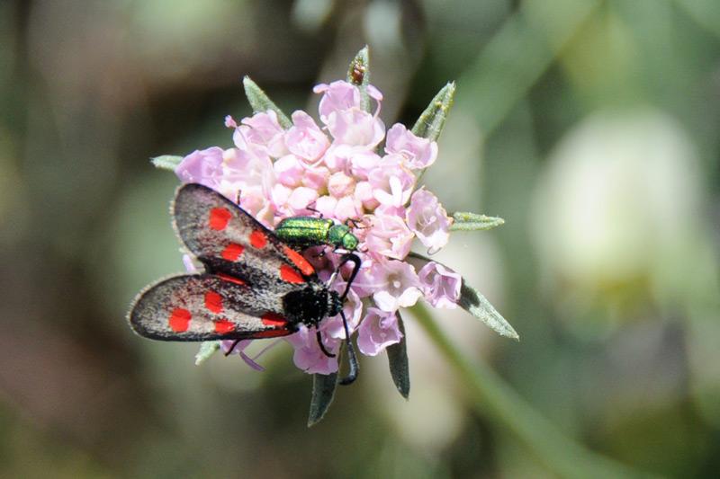 da determinare - Zygaena (Mesembrynus) corsica