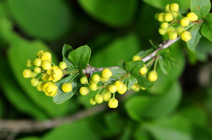 Berberis vulgaris / Crespino comune