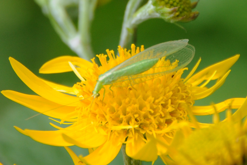 Chrysoperla sp.(Planipennia-Chrysopidae)
