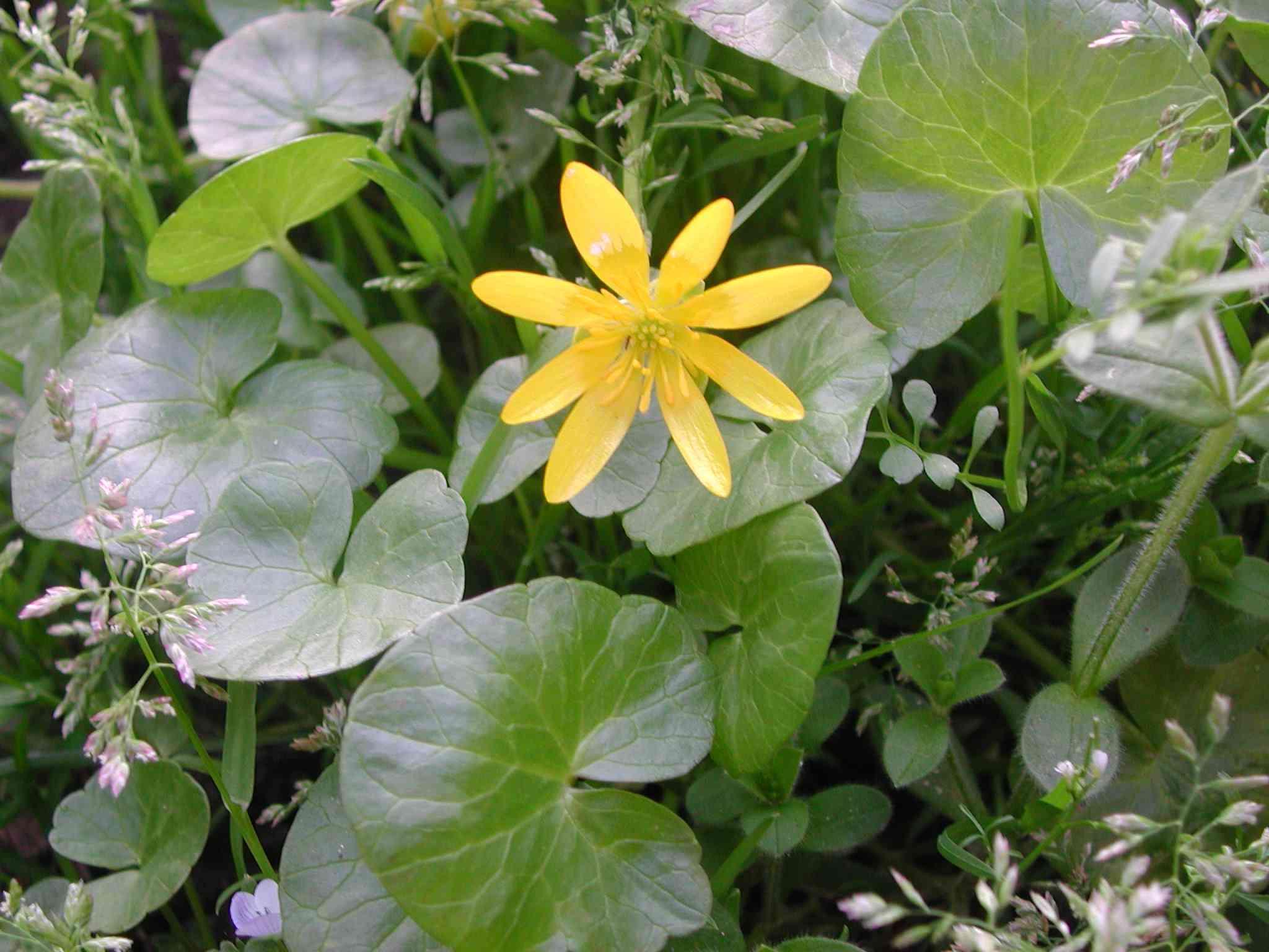 fiori gialli marzo