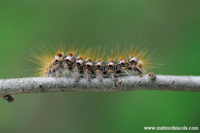 determinazione larva - Euproctis chrysorrhoea