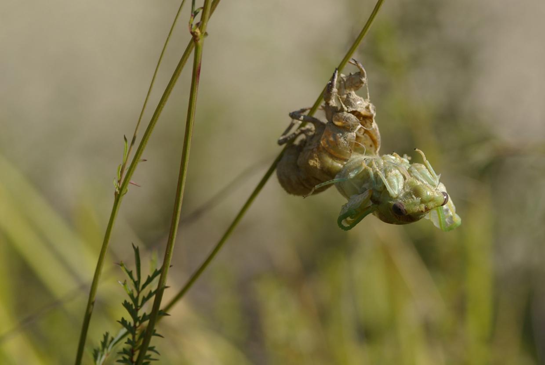Fasi di sfarfallamento di Cicadidae