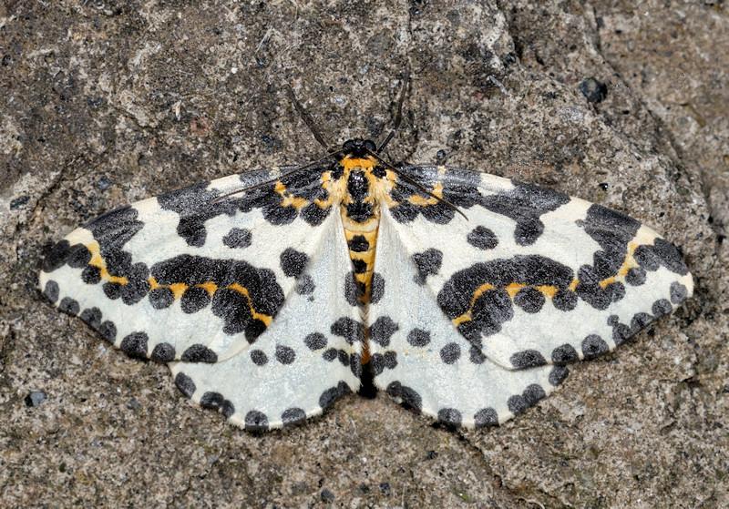 Raro caso di farfalla e bruco con gli stessi colori