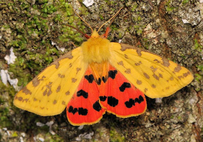 Rhyparia purpurata