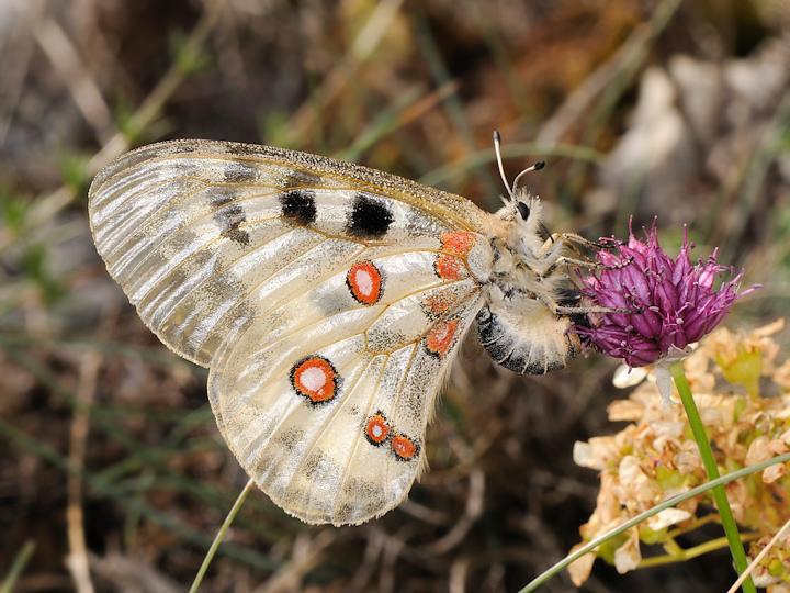 Un po'' di farfalle dal canyon di Campo Imperatore