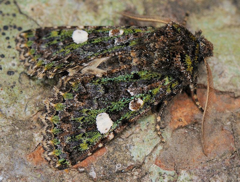 58 maschi di Eriogaster lanestris...