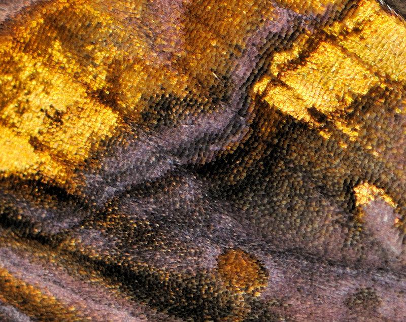 Lamprotes c-aureum che vuol dire più o meno Lucente c-dorato