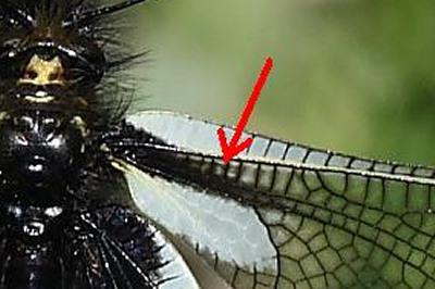 Libelluloides coccajus e Libelluloides lacteus