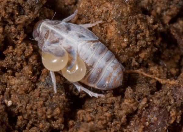 cicalina parassitata - Dryinidae o Embolemidae?