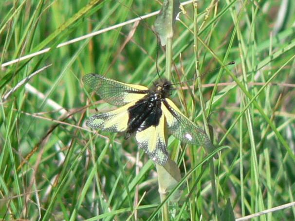 Libelloides coccajus  maschio