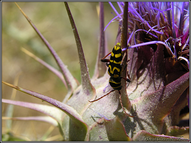 Plagionotus scalaris (Cerambycidae)