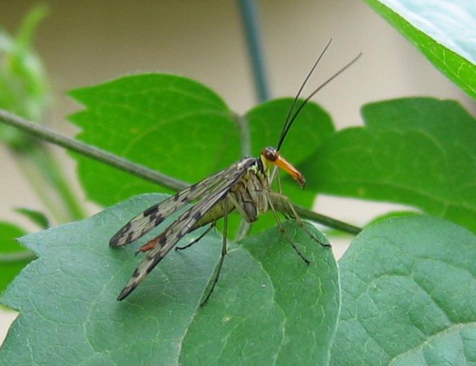 Rafidiottero (Parainocellia bicolor) e mecottero (Panorpa)