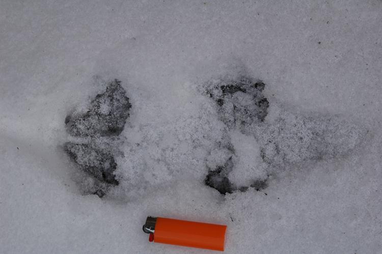 RICONOSCIMENTO strane tracce su neve