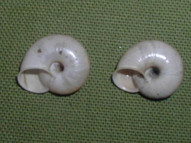 Chilostoma (Cingulifera) cingulatum philippi   (kobelt 1905)