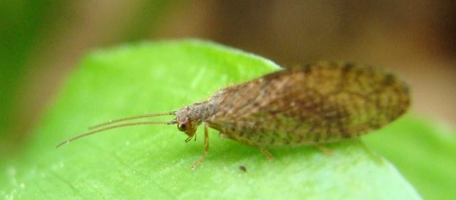 emerobide: Micromus angulatus