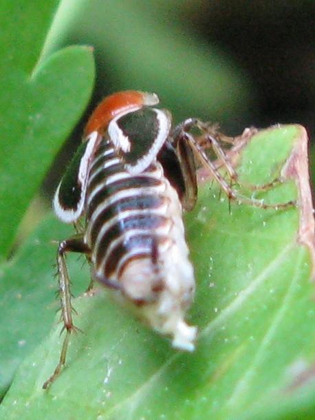 Phyllodromica marginata (Blattellidae Ectobiinae)