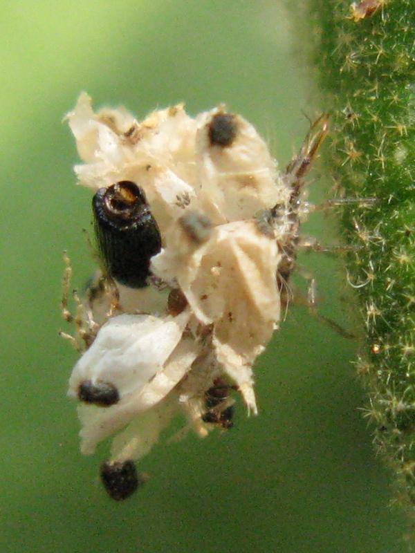robivecchi sp ! larve di Dichochrysa