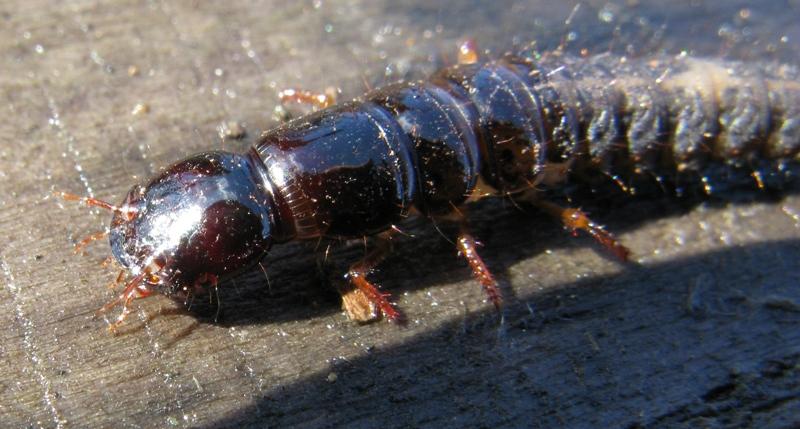 Larva di stafilino: Ocypus olens