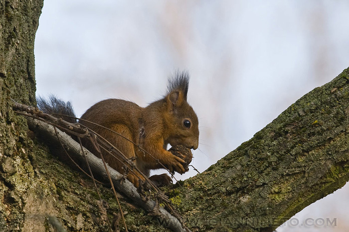 scoiattolo in giardino