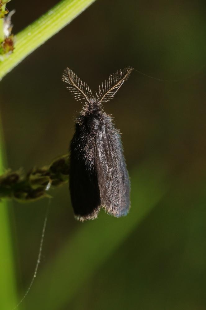 piccolo lepidottero da determinare... - Psychidae