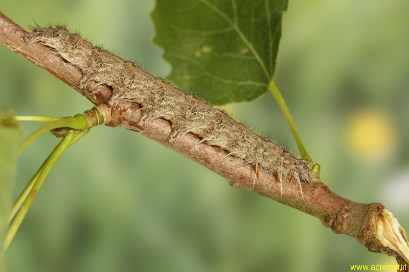 Gastropacha (Stenophylloides) populifolia