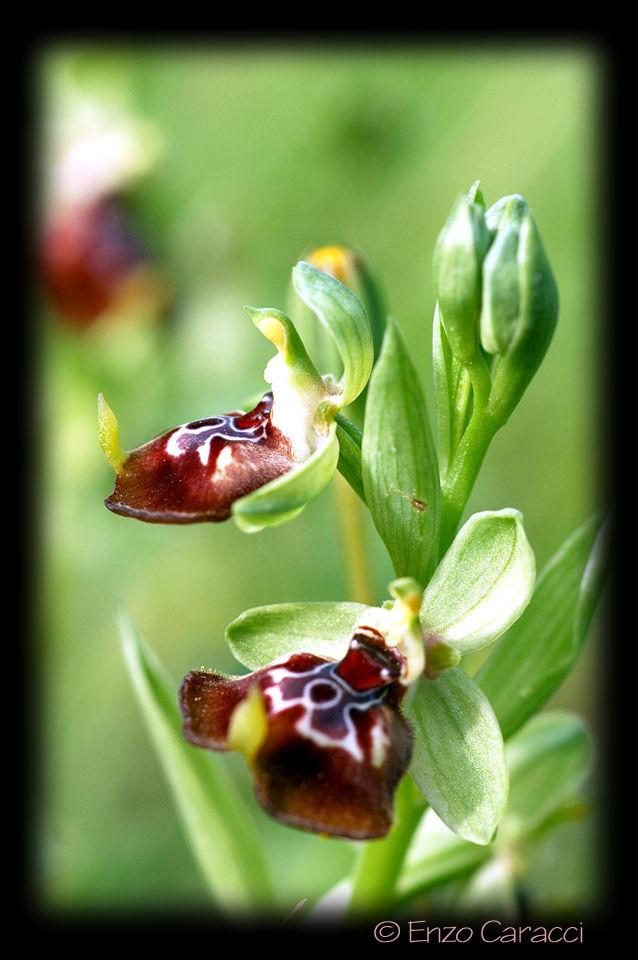 Ophrys oxyrrhynchos, Ophrys calliantha e loro ibrido