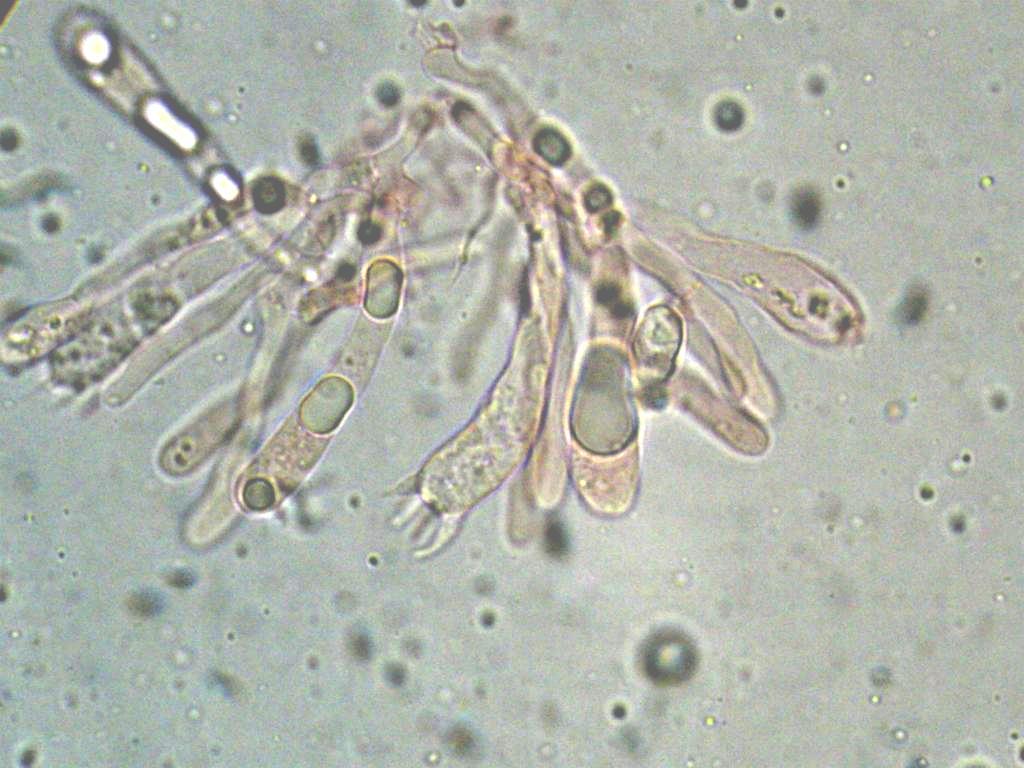 Hygrocybe  constrictospora?