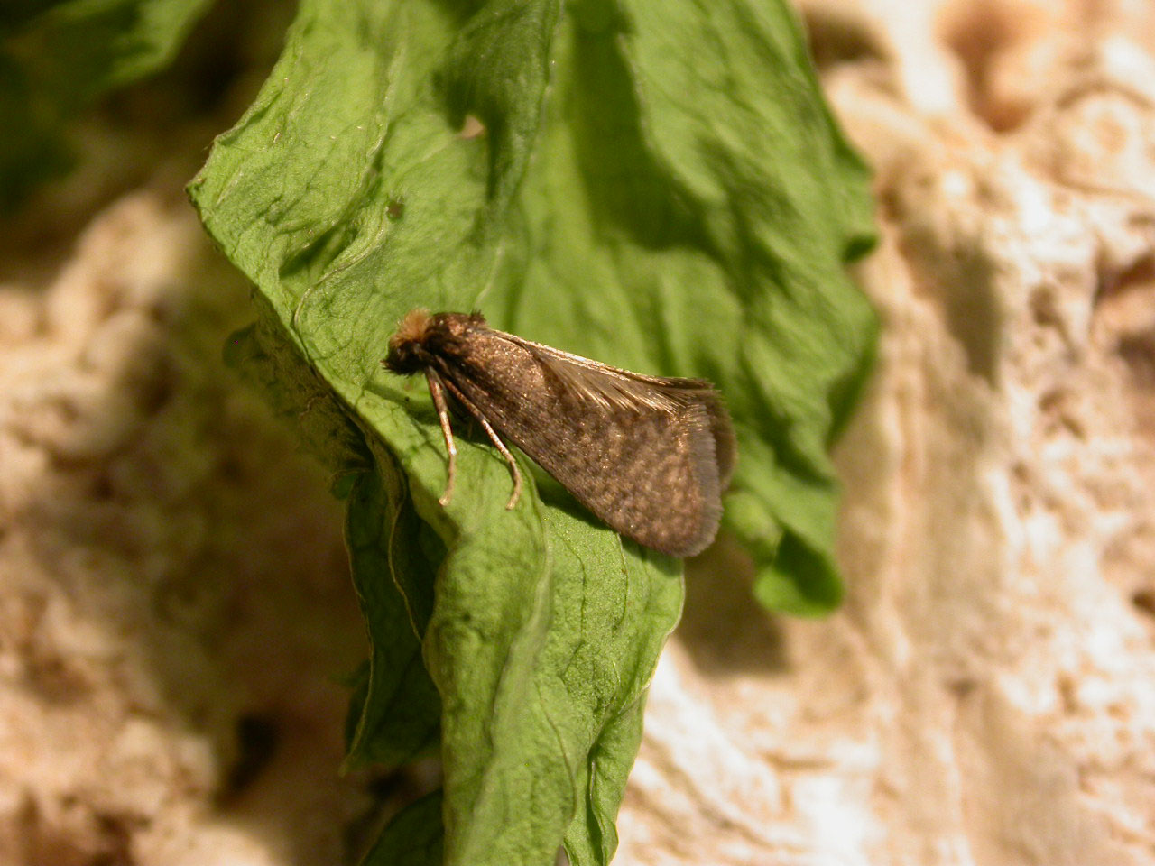 Taleporia tubulosa (lep. Psychidae)