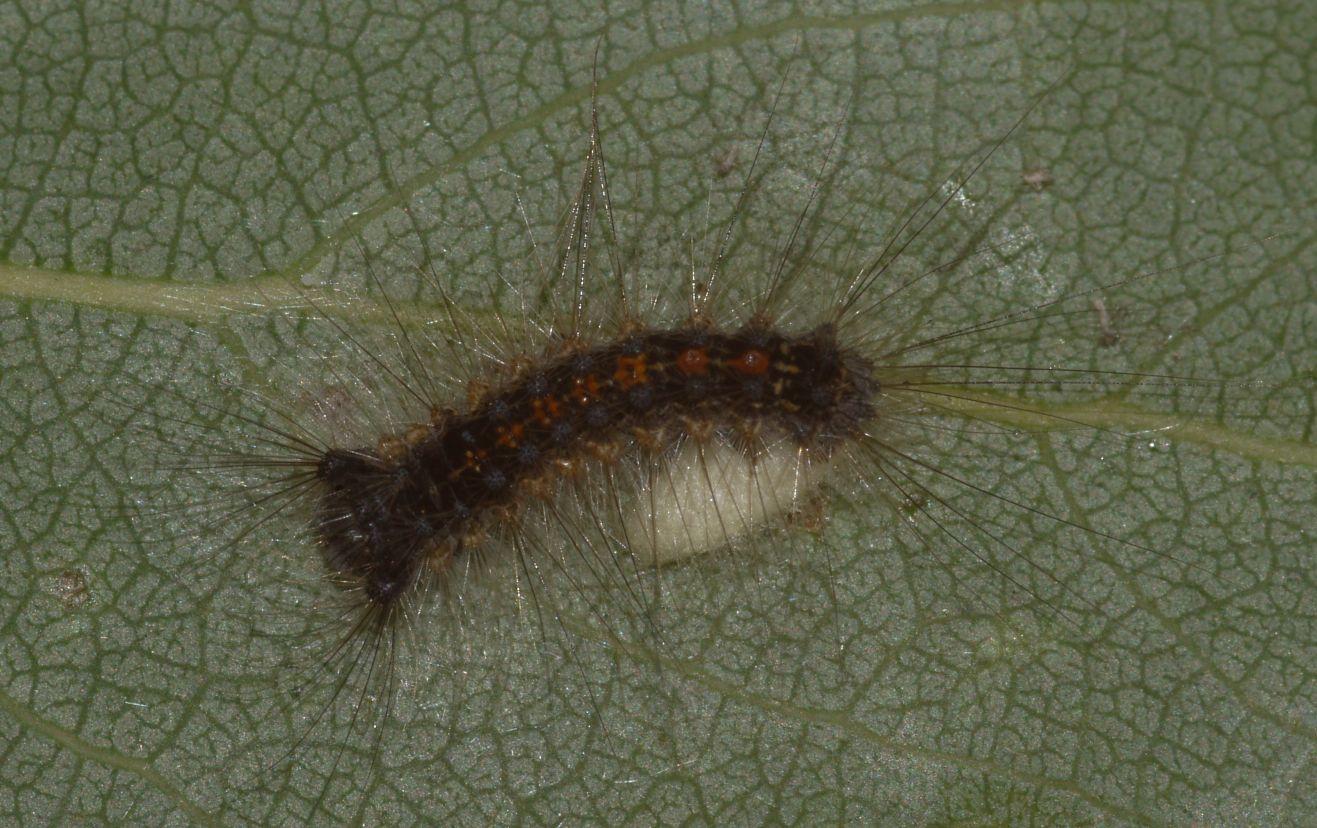 Larva di Lymantria dispar parassitata da Braconide