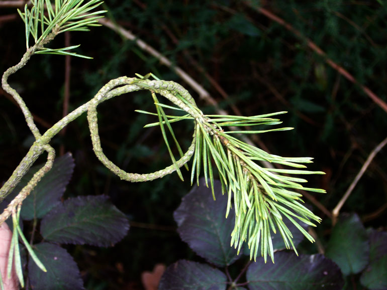 Pinus sylvestris / Pino silvestre