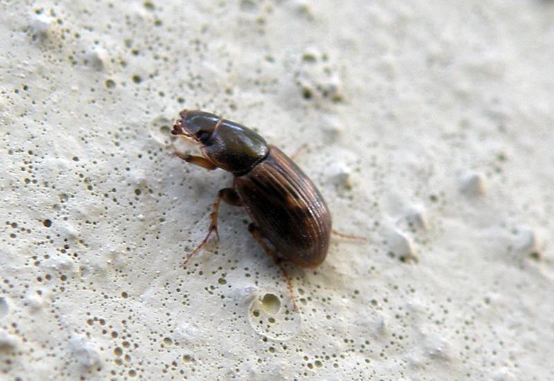 Coleotteri sui muri di casa forum natura mediterraneo - Piccoli insetti sui muri di casa ...