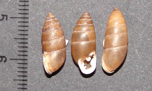 Chondrula (Chondrula) quinquedentata (Rossm�ssler, 1837)