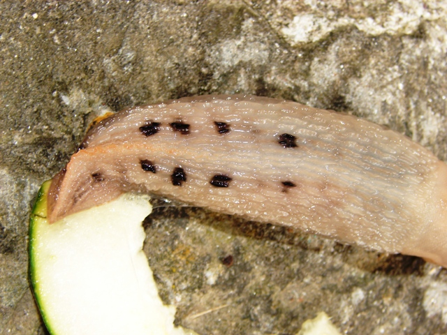 Limax
