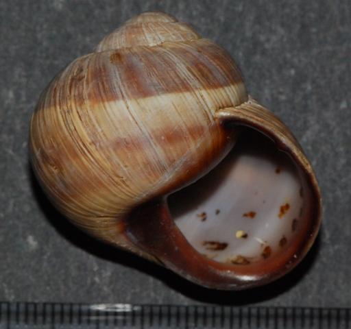 Helix melanostoma a Ladispoli