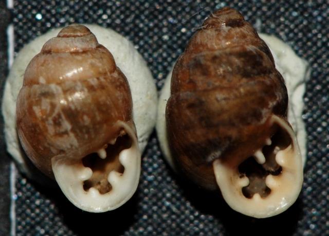 Euchondrus ovularis