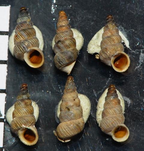 Cochlostoma  elegans - Velika Paklenica, Croazia