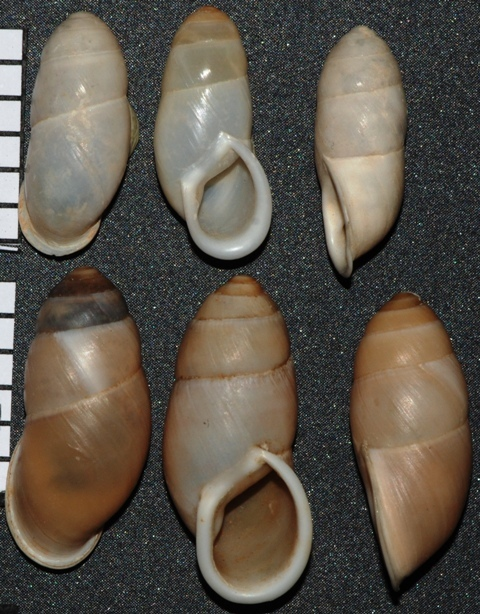 Buliminus labrosus (Olivier 1804)
