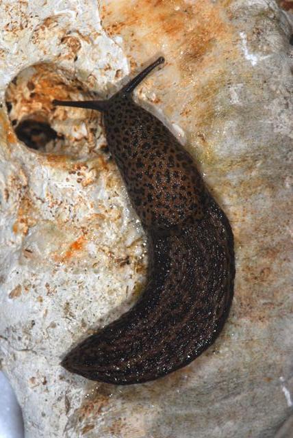 Limax dai Monte Berici (VI).   L. veronensis!