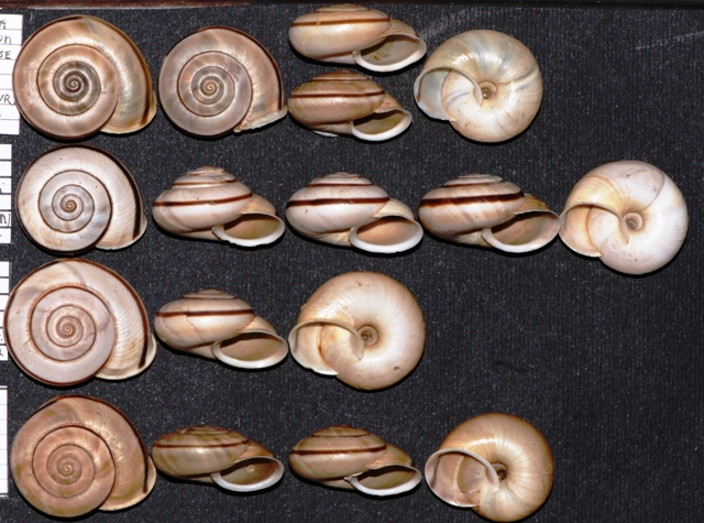 Chilostoma cingulatum nicolisianum